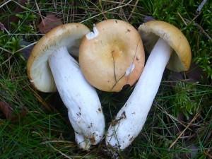 Wer ein wenig mehr Artenkenntnis besitzt und beispielsweise Täublinge mit in den Pilzkorb legt, kann an den klassischen Maronen - Stellen