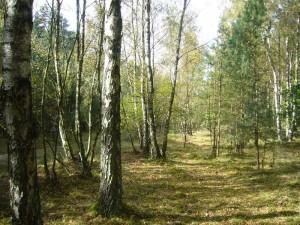 Ein klassisches Birkenpilz - Areal. Birkenpilze und Rotkappen gab es in diesem Jahr zwar etwas häufiger als Steinpilze, heute waren aber hier auch nur einige wenige, überständige Exemplare zu finden.