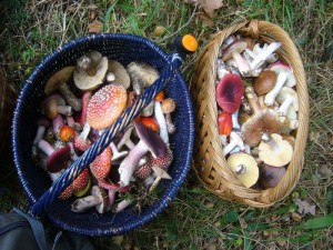 Solche Farbenpracht findet sich nicht jeden Tag in den Körben der Pilzsammler. Mit einem derartigen Inhalt tut man gut anderen Pilzsuchern und spaziergängern lieber aus dem Weg zu gehen, da sie sich beim Anblick eines solchen Sammelsuriums oftmals veranlaßt fühlen, aufklärerisch tätig zu werden. Die Pilzausstellung in der nächsten Woche wird schön bunt!