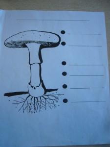 Hut, Lamellen, Manschette, Stiel, Knolle und Myzel sind die wichtigsten Kennzeichen der Knollenblätterpilze.