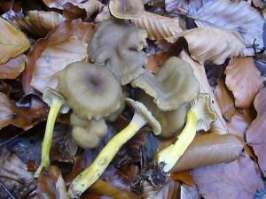Diese essbaren Trompeten - Pfifferlinge (Cantharellus cibarius) fanden wir am 19.10.2011 im Schlemminer Staatsfort. Sie könnten morgen auch mit dabei sein.