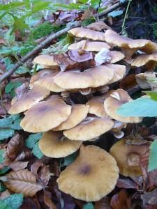 An und um alten Laubholzstubben waren die meisten Pilze anzutreffen, so wie dieses Büschel Honiggelber Hallimasch (Armillaria mellea). Sie wanderten als Speisepilze in den Korb. Standortfoto am 12.11.2011 - Stegenholz.