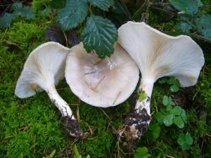 Die Graukappen (Clitocybe nebularis) sind in der Regel größer, oft deutlich grauweiß gefärbt mit aufdringlichen Geruch. Aber auch sie sind mit Vorsicht zu genießen! Standortfoto im Wald bei Moorbrink.