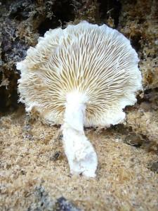 Dieser Berindete Seitling (Pleurotus dryinus) wuchs aus einer kleinen Baumhöhle einer alten Fichte heraus. Auf grund seiner Zähigkeit gilt dieser Seitling als ungenießbar.