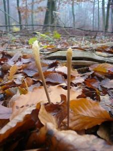 Die Hohe Röhrenkeule (Macrotyphula fistulosa) ist eine etwas bizarre und elegante Spätherbstart der Laubwälder. Standortfoto am 20.11.2011 im Wald bei Moorbrink.