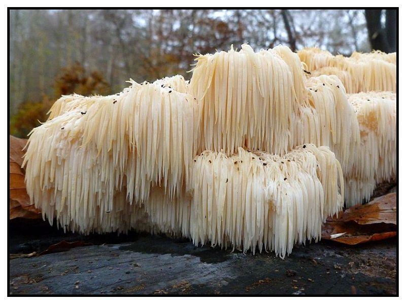 Der Igel - Stachelbart (Hericium errinaceum) ist ein sehr seltener Holzpilz an altem Eichen und Buchenholz. Durch seine, oft rundlick - kompakten Fruchtkörper mit den sehr langen Stacheln auf der Unterseite ist er kaum zu verwechseln. Er wird auch gezüchtet und ihm werden auch in der asiatischen Naturheilkunde allerlei positive Wirkungen zugeschrieben. Dieses Foto sandte mir wieder Andreas Okrent im Herbst 2011.
