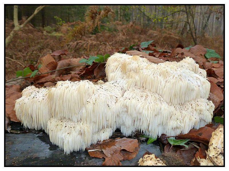 Der Igel - Stachelbart (Hericium erinaceus) ist in Mecklenburg nur sehr selten an alten Eichen oder Buchen zu finden. Auch an liegenden Stämmen und Stümpfen.
