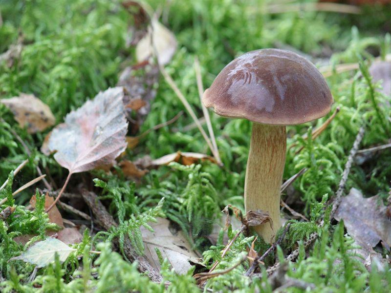 Auch dieses Herbstfoto stammt wieder von A. Okrent. Zu sehen ist ein junger, eleganter Maronen - Röhrling (Xerocomus badius). Herbst 2011.