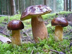 Marone, Steinpilz und Co kennt fast jeder Pilzsammler, aber wie sieht es mit den vielen anderen Vertretern aus dem Reich der Großpilze aus?