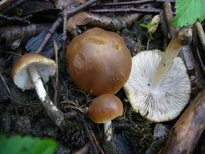 Aber es gab auch richtige Pilze, dass heist in typischer Form mit Hut und Stiel. Der Frühlings - Mürbling (Psathyrella spadiceogrisea) kann als Suppenpilz Verwendung finden.