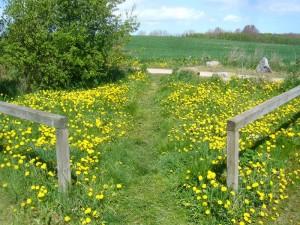 Die Wiesen waren heute vielfach satt gelb gefärbt von der Vielzahl der Löwenzahn - Blüten, aber wo bleiben nur die Morcheln?.