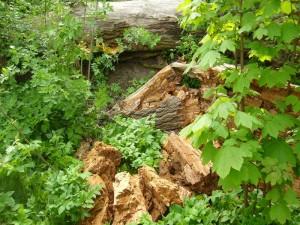 Das Zerstörungswerk des Schwefelporlings! Einst eine mächtige Weide, aber der Pilz hat im Laufe der Jahre ganze Arbeit gemacht. Der Baum ist zusammengebrochen. Das Holz zerfällt in Würfel und ist leicht wie Kork, aber wesentlich bröckliger. Noch vor wenigen Jahren konnte man hier bis zu einem halben Zentner Schwfelporling ernten, heute waren es, im Hintergrund andeutugsweise zu sehen, noch etwa sechs Kilogramm. 08.05.2012 am Ostseestrand bei Wismar.