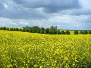 Die Papsblüte ist untrenn bar mit der Maipilz - Saison verbunden. Beide haben ihren Höhepunkt überschritten. Die gelben Blüten dieser Ölfrucht verwandeln sich bald in die typischen Schoten und es geht dem Sommer zu. 17.05.2012 bei Langen Brütz.