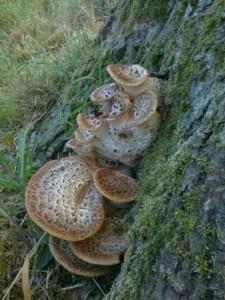 Pilzarten, die ihre Nährstoffe und somit auch das nötige Wasser, dem teilweise oder noch ganz lebendem Holz entziehen, haben es wesentlich leichter.