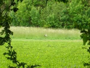 Währed wir nun in unsere Autos stiegen, machte sich dieser Weißstorch wenige Meter von uns auf einer Waldwiese auf Nahrungssuche. Er hat sicherlich Nachwuchs zu versorgen und ließ sich von uns in keiner weise stören.