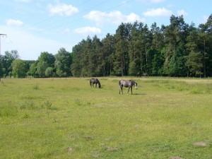 Auf einer angrenzenden Weidefläche am Waldrand grasen Pferde.