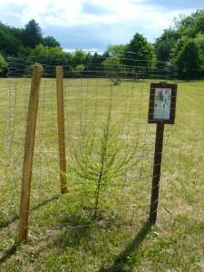 Der Baum des Jahres 2012 ist übrigens die Europäische Lärche, frisch geplanzt, um Wildverbiss zu verhindern eingzeunt und mit schön eigezeunt.