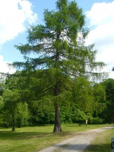 Während zumindest einige der hier vorgestellten Bäume nicht gleich nebenan im Wald zu finden sind, stehen ausgewachsene Lärchen seit langem auf dem Gelände des Forstamtes.