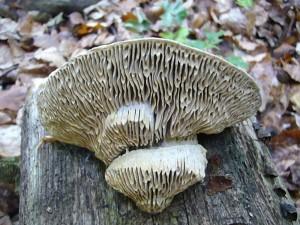 Es ist der sehr dekorative und interessante Eichen - Wirrling (Daedalea quercina). Er besiedelt ausschließlich Einen - Stubben und ist ein seinem labyrinthischen Hymenophor eindeutig festgelegt