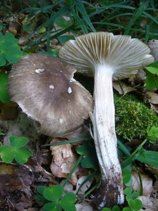 Bis auf weiteres wird wohl der Breitblättrige Großrübling (Megacollybia platyphylla), der einzige, verhältnismäßig häufige und auffallende Frischpilz in unseren Wäldern bleiben. Standortfoto am 20.06.2012 im Wald bei Warnkenhagen.