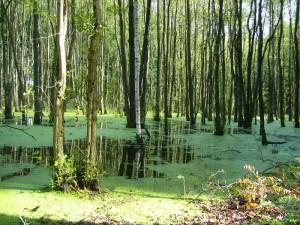 Neben solch wunderschönen Feuchtwäldern, durch die wir verständlicher weise nicht schritten, gibt es hier im hügeligen Gelände auch trocknere Laubmisch- und Buchenwälder.