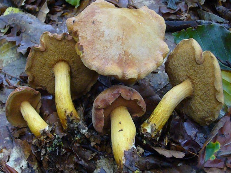 Der Pfeffer - Röhrling (Chalciporus piperatus) wächst von Juni - November, besonders aber im Herbst, unter Laub- und Nadelbäumen. Er ist gern an Steinpilz - Standorten anzutreffen und bevorzugt als Mykorrhiza - Pilz die Fichte und die Rotbuche auf saurem Untergrund. Der Pfeffer - Röhrling ist ein kleiner bis höchstens mittelgroßer Röhrenpilz mit braunroten Röhren und besonders im Stiel leuchtend gelben Fleisch. Durch seine pfeffrig scharfen Geschmack kommt er sich höchstens als Würzpilz in Frage. Standortfoto am 29.08.2010 im Schlemminer Staatsforst.