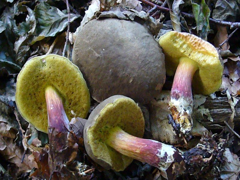 Rotfüßchen (Xerocomus chrysenteron). Dieser häufige Filzröhrling ist im Sommer und Herbst häufig in Laub- und Nadelwäldern zu finden. Nach Frieder Gröger gilt das Rotfüßchen als wohlschmeckend und zartfleischig. Am besten in Butter gedünstet. Junge, nicht zu weiche und wässrige Pilze eignen sich gut zum trockenen und ergeben ein gutes Würzpulver. Leider sind die Pilze oft vermadet oder sind vom parasitischen Goldschimmel befallen und im Wert gemindert. Standortfoto.