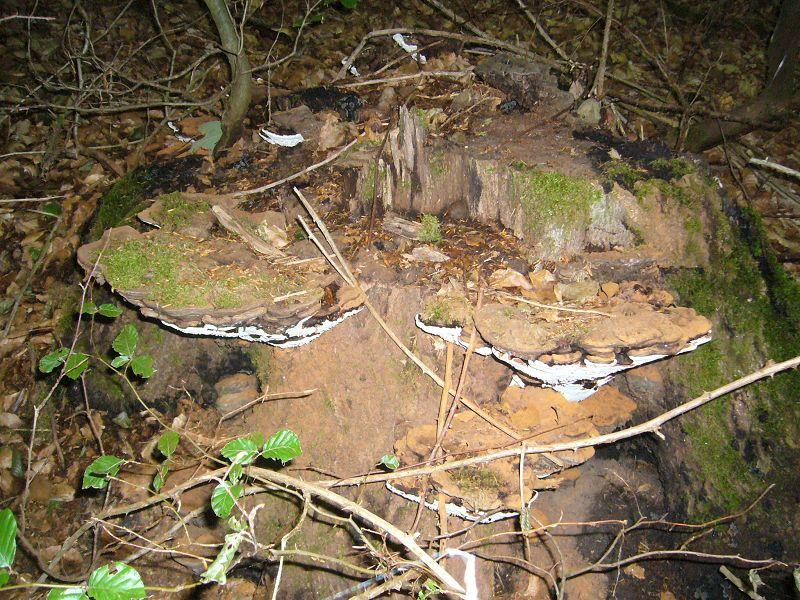 Diese großen Flachen Lackporlinge (Ganoderma lipsiense) haben ihre nähere Umgebung mit ihrem zimtbrauen Sporenstaub und sich selbst kräftig eingestäubt.