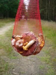 Mühsam ernährt sich das Eichhörnchen. Man ist ja bescheiden geworden, aber als kleine Beilage zum Sonntagsbraten sollte es für unsere Pilzfreundin Erika Wittenhagen schon reichen.