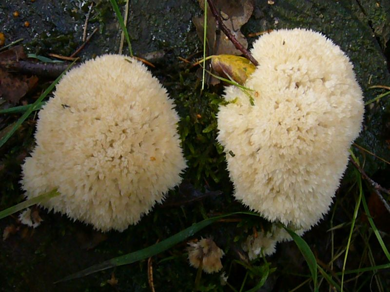 Diese weißlichen, weichen, watteartigen Polster auf Nadelholz werden zu den Porlingen gestellt. Es handelt sich um den Weißen Polsterpilz (Ologoporus ptychogaster. Kein Speisepilz.