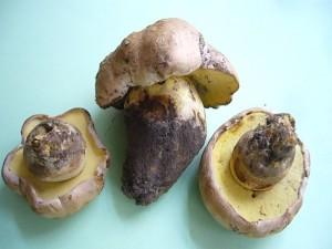 Am Dienstag wurden mir von zwei unterschiedlichen und weit auseinander liegenden Stellen Wurzelnde Bitter - Röhrlinge (Boletus radicans) in der Pilzberatung vorgelegt.