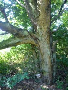 Sie gehören zu diesem urwüchsigen und uralten Kirschbaum, der den Atacken des Schwefelporlings ausgesetzt ist und durch sein zerstörerisches Einwirken bereits zu zerbrechen droht. Er verursacht im Holz eine Braunfäule.