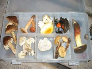 Eigens dafür hatte er sie in einer prktischen Fächerbox artenrein geordnet. Ein kleiner Querschnitt durch die momentan bescheidene Pilzwelt von Gefleckter Rißpilz bis Rotfüßchen.