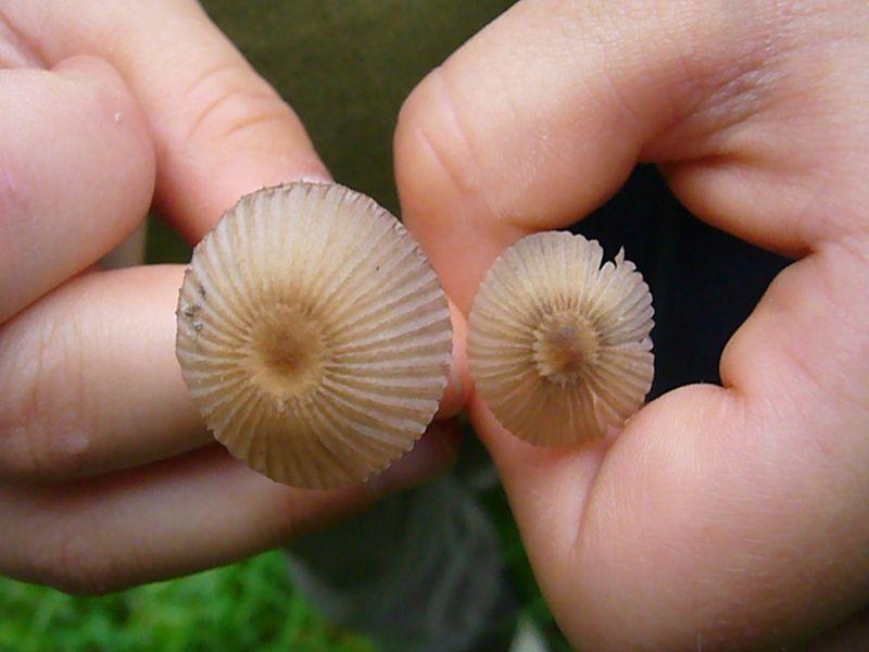 Diese wunderschön struckturierten Tintlinge (Coprinus specc.) fand Jonas im Gras zwischen Waldrand und Bullenkoppel.