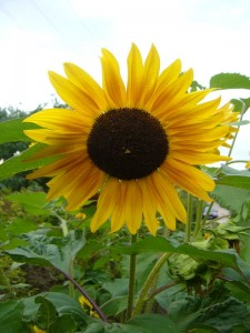 Nicht nur die wunderbaren Sonnenblumen strahlten uns freundlich an, nein wir konnten uns an einem Meer von prächtigen Sommer- und Herbstblumen erfreuen.