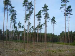 In dieser sandigen Gegend überwiegen meist Kiefernwälder, teils aber auch Fichte. Hier wurde stark ausgeholzt, um andere Baumarten zwischen die Kiefern zu pflanzen.