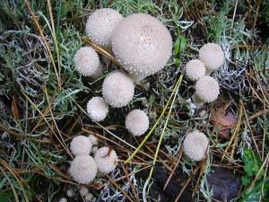 Auch die Flaschen Stäublinge (Lycoperdon perlatum) brachen ganz jung und frisch aus dem sandigen Waldboden.