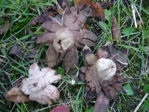 Diese Rotbraunen Erdsterne (Geastrum rufescens) wuchsen auf dem Gelände der Jugendherberge am Rande einer Hecke.