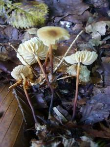 Und dann ging es in die Pilze. Die ersten kleinen hatte Jonas sogleich am Wegrand entdeckt. Es ist eine Gruppe von Hornstiel - Schwindlingen (Marasmius cohaerens). Keine Speisepilze. Standortfoto im Forst Ritzerau.