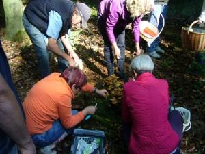 Nachdem wir uns vergewissert hatten, das es auch wirklich Stockschwämmchen und keine giftigen Häublinge waren, begann die Ernte.