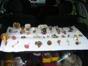 Bevor es losging hatte Klaus wieder eine kleine Kollektion unterschiedlichster Pilze mitgebracht und gleich zu Beginn vorgestellt und erläutert.