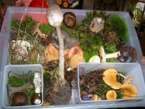 Auch Vereinsmitglieder aus Hamburg besorgten uns unverhofft einige Pilze, die sie in einem Wald bei Ratzeburg sammelten und liebevoll in Moos gebettet zu uns brachten. Wir möchten uns bei euch ganz herzlich bedanken, denn es waren auch Arten wie Herbsttropeten dabei, die wir nicht gefunden hatten.
