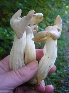 Längst der Waldwege gab es immer wieder Trupps der markannten Herbstlorchel (Helvella crispa). Sie kann in den Sammelkorb für Speisepilze gelegt werden.