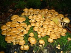 Auch die delikaten Stockschwämmchen (Kuehneromyces mutabils) gab es besonders an alten Buchstenstubben in  großen Mengen. Da reicht ein Baumstumpf mitunter aus und die Pilzmahlzeit ist gesichert.