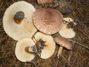 Besonders jung können die Bärtigen Ritterlinge (Tricholoma vaccinum) mit ihren bräunlichen Hüten und den zahlreichen Schüppchen oben drauf dem Dunklen Hallimasch ähnlich sehen.