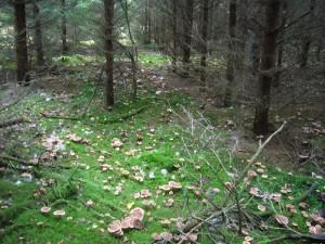 Dicht an dicht und so weit das Auge reicht ist der Boden dieses Fichtenbestandes mit Pilzen übersät. Neben ungenießbaren Bärtigen Ritterlinge auch viele essbar Erdritterlinge und einige Fichten - Reizker. 27.10.2012 im Lankower Holz.