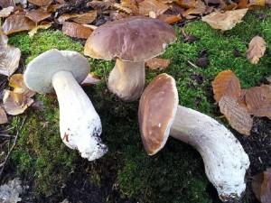 Auch Andreas Okrent fand gestern im Buchenwald noch 12 Steinpilze (Boletus edulis), wobei nur diese drei noch frisch waren. Auch einige Derbe Rotfüßchen fand er noch als erwähnenswerte Pilze.