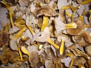 Eine frische Ernte Trompeten - Pfifferlinge (Cantharellus tubaeformis) von heute. Gesammelt von unseren Vereinsmitgliedern aus Hamburg in einem artenreichen Wald zwischen Ratzeburg und Mölln. 16.11.2012.
