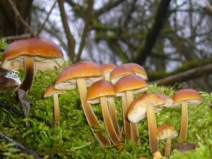 Gleich daneben eine alte, bemooste Weide mit frischen Samtfuß - Winterrüblingen, neben dem Austern - Seitling der wichtigste Speisepilz des bevorstehenden Winters. Die Pilze blieben natürlich stehen.
