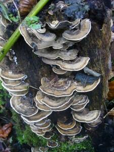 Die Schmetterlings - Tramete (Trametes versicolor) gehört zu den häufugsten und dekorativsten Porlinge. Wir verwenden sie auch für unsere Pilzgestecke.